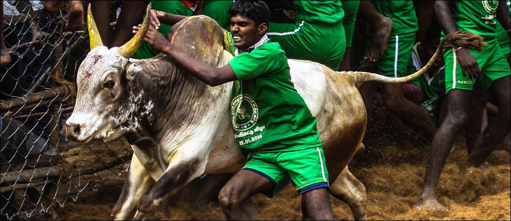 Jallikattu Tamil Nadu